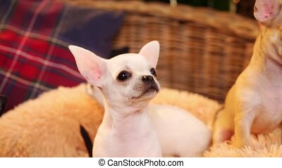 curious white chihuahua puppy on the litter with other puppies. breeding thoroughbred dogs. Cute pets.