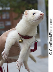 Curious White Ferret