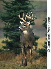 Curious Whitetail Buck - a curious whitetail buck staring at...