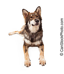 Curious Wolf and German Shepherd Cross Dog