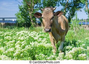 Curious young cow on a spring pasture