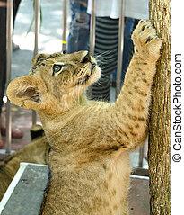 Curious young lion climbing tree