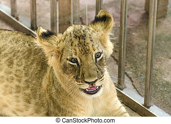 Curious young lion