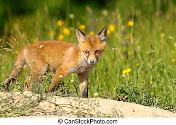 curious young red fox