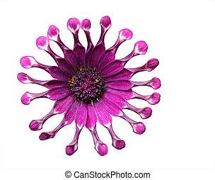 Curl Purple Mum