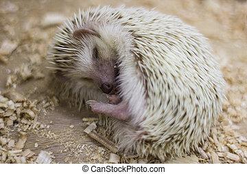 Curl up hedgehog in hibernation