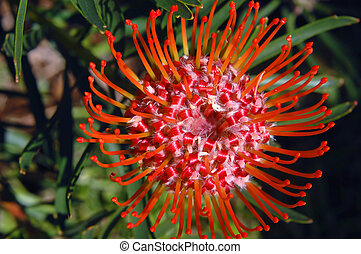 Curling Petals of Protea