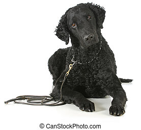 curly coated retriever laying down looking at viewer on...