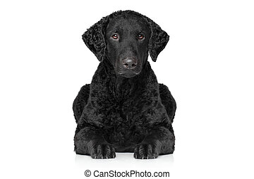 Curly coated retriever lying down on white background