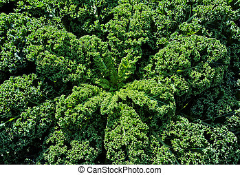 A big healthy curly kale growing in the field, looking down on it towards the center in bright sunlight.