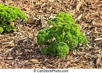 curly leaf parsley growing in vegetable garden