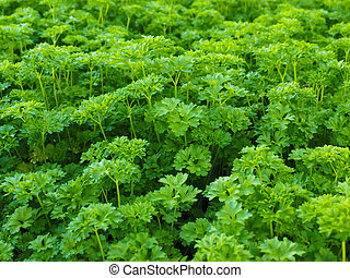 Curly leaf parsley, up close in a field