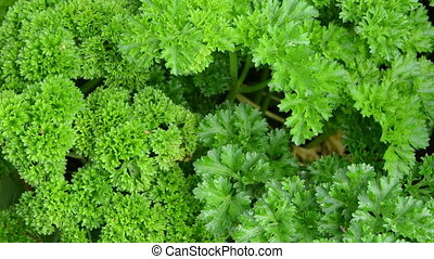 curly parsley ecological - curly parsley natural spice...