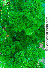 curly parsley in a garden