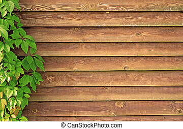 Curly Parthenocissus on the background of a wooden fence...