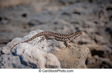 Curly Tailed Lizard sitting on a rock