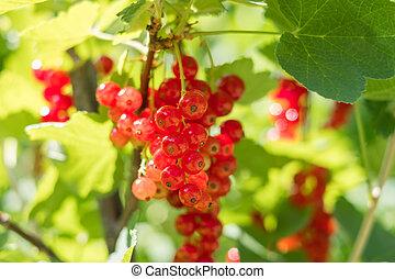 currant berries - currants bush in garden