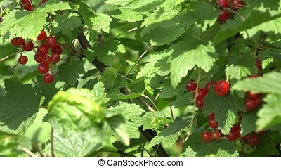 currant bush with red ripe berries bunch in summer garden. 4K
