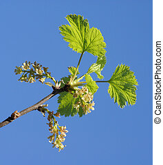 currant in abloom