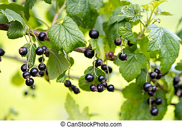 Currant - black currant on a shrub