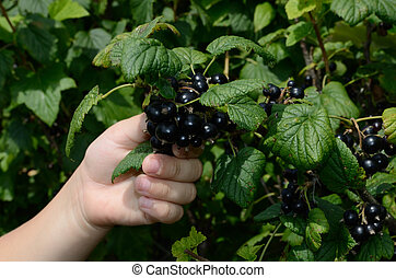 Currant - Children's hand breaking a currant