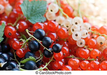 currant - twig of red and black currant closeup
