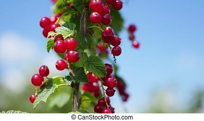 Currants, close-up of berries and leaves. Red currant berries