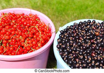 currants, sort rød