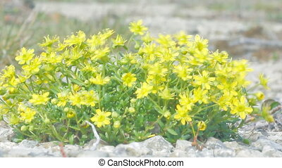 Curtin shiny Yellow flowers in  polar desert.  Novaya Zemlya archipelago. Arctic
