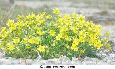 Curtin shiny Yellow flowers in polar desert. Novaya Zemlya...