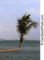 curve coconut tree