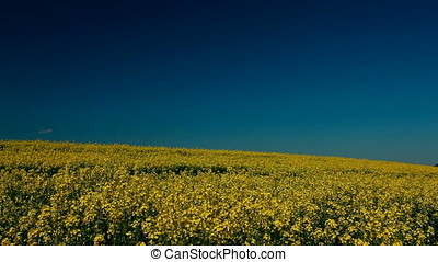 Curved Horizon Rapeseed Field - Curved horizon over rapeseed...