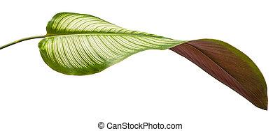 Curved leaf of Calathea Ornata Albolineata with a magenta bottom