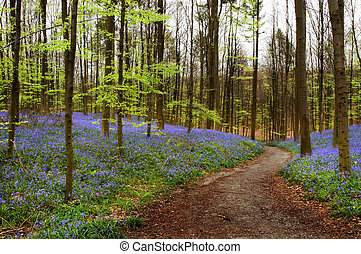 Curved path in a bluebell forest in springtime (Hallerbos woods in Belgium)