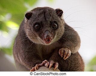 cuscus, 地面
