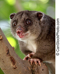 cuscus, terrestre