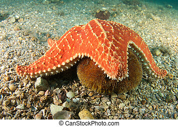 Cushion Sea Star getting ready to try and consume a Sea...