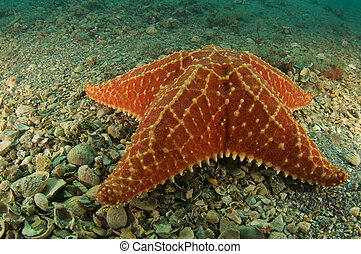 Cushion Star on a sandy bottom, picture taken in south east ...