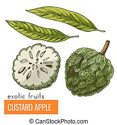 Custard apple. Color vector illustration.