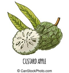 Custard apple. Full color realistic hand drawn vector