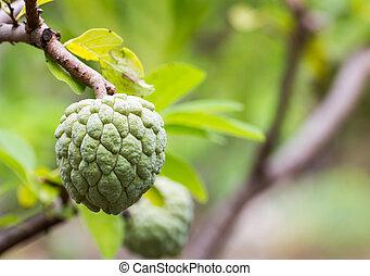 Custard apple growing on tree in nature