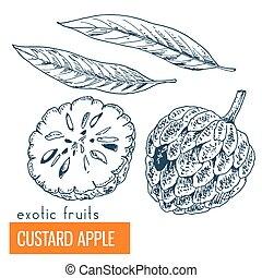 Custard apple. Hand drawn vector illustration