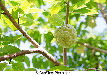 Custard apples or Sugar apples or Annona squamosa Linn. growing on a tree in garden at Thailand.