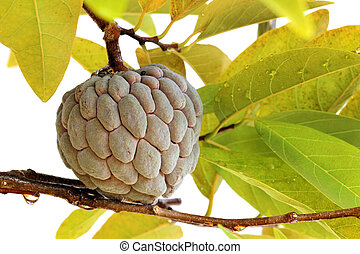 Custard apples or Sugar apples or Annona squamosa Linn