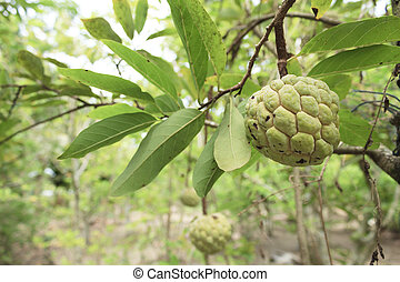 Custard apples or Sugar apples or Annona squamosa Linn....