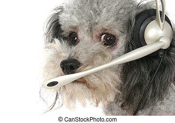 Customer Service Poodle - Silver toy poodle wearing...