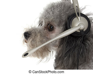 Customer Service Pup - Silver toy poodle in head set.