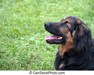 Cut brown, black dog wants to play. Grass background.