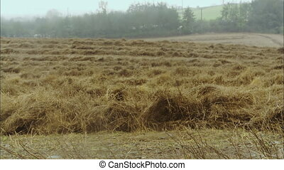 Wide low angle still shot of cut dry hay lying on a farm field, and horizon trees with foggy background, countryside scene, UK.