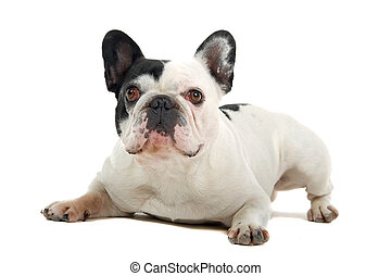 french bulldog (frenchie) - cut french bulldog (frenchie) ...